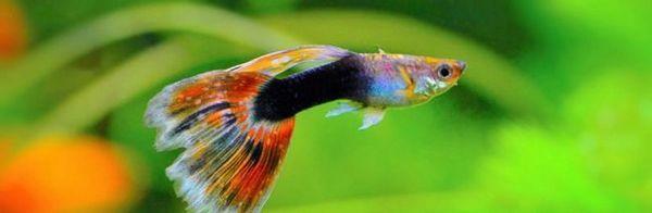 10 Кращих акваріумних рибок для початківців