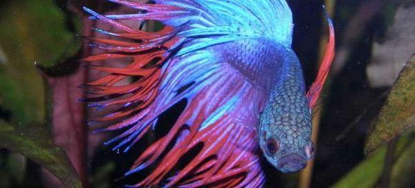 11 Частих симптомів хвороб у рибок півників