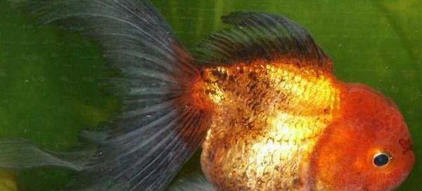12 ознак захворювань золотої рибки