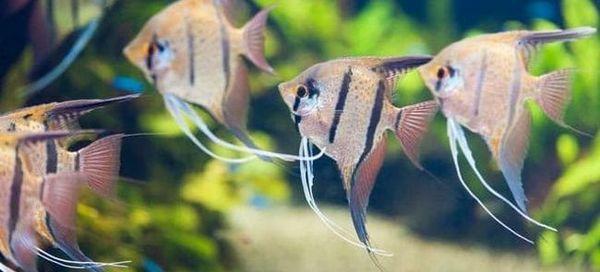 15 Сумісних з скаляріями рибок