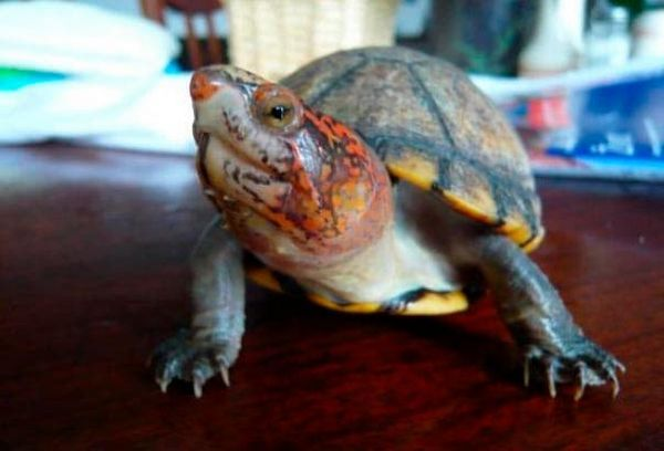 тиня червеникава костенурка