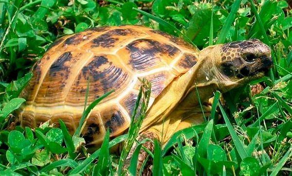 Централноазиатска костенурка