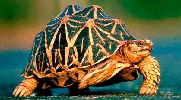 Звездна костенурка