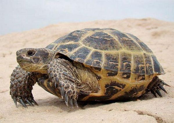 Средиземноморска костенурка