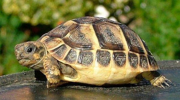 Балканска костенурка