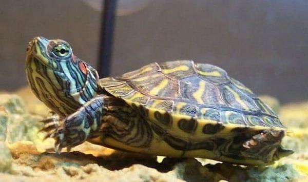 червеноуша костенурка
