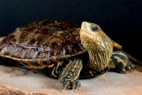 Каспийска костенурка
