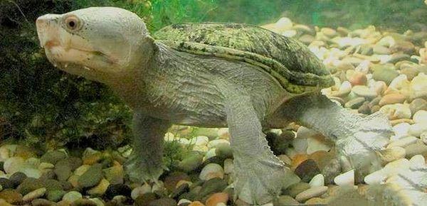игла костенурка