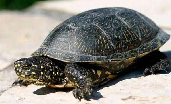европейска костенурка