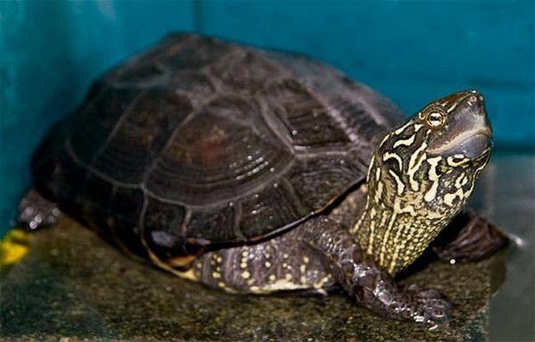 тристранна костенурка
