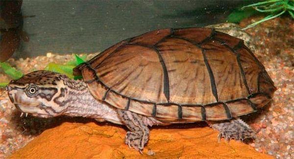 мускатна костенурка