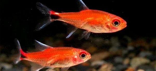 16 Видів невеликий акваріумний рибки тетри