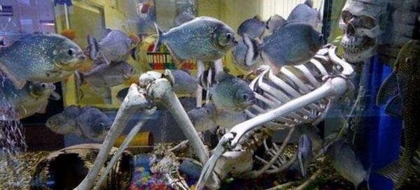 24 Хижі рибки для акваріума