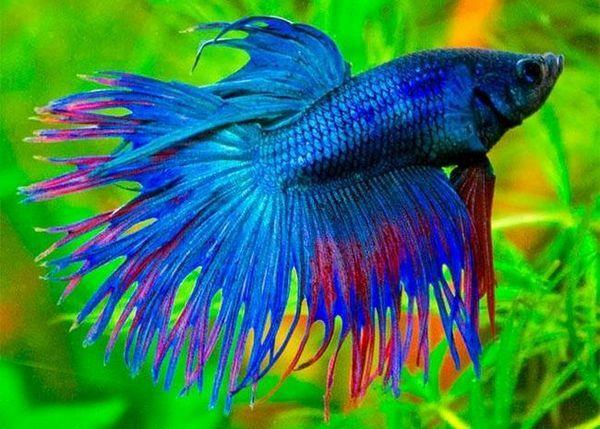 Бійцівська рибка півник