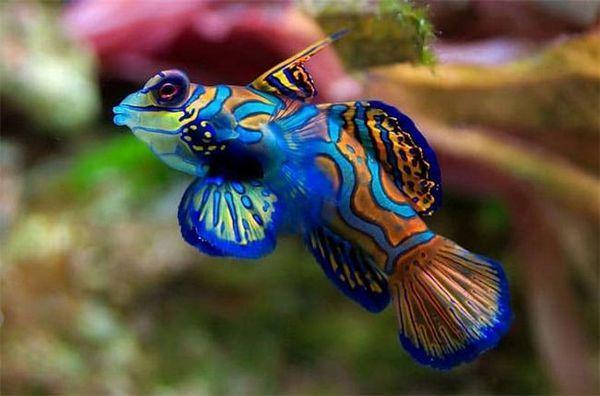 рибка мандаринка