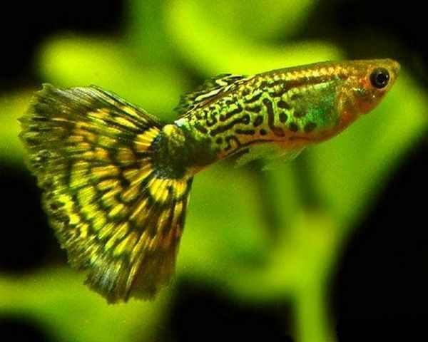 Zelená kobra guppy