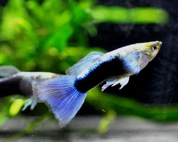 guppy modrá metalíza