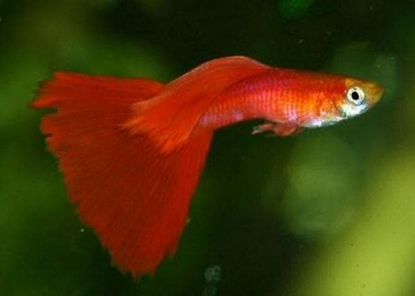 Guppies Red Moscow