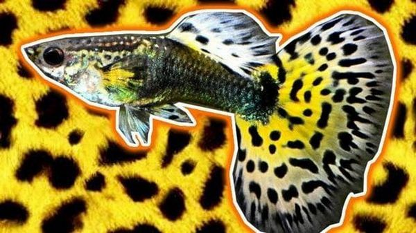 leopardí guppies
