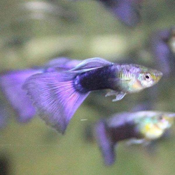 fialová neonová guppy