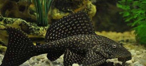 6 Populárne akváriové sumce a ich obsah