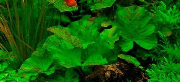 6 Typov nymf pre akvárium