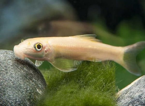 гірінохейлус альбінос