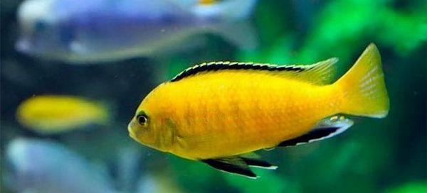 7 Popularni aklium ribe cichlids i njihov sadržaj