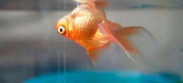 7 Популярних причин вмирання рибок в акваріумі: що робити, профілактика