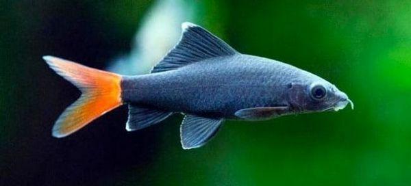 7 Популярних видів акваріумний рибки лабео