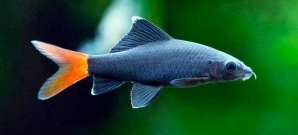 7 Populárnych druhov rýb labeau aquarium