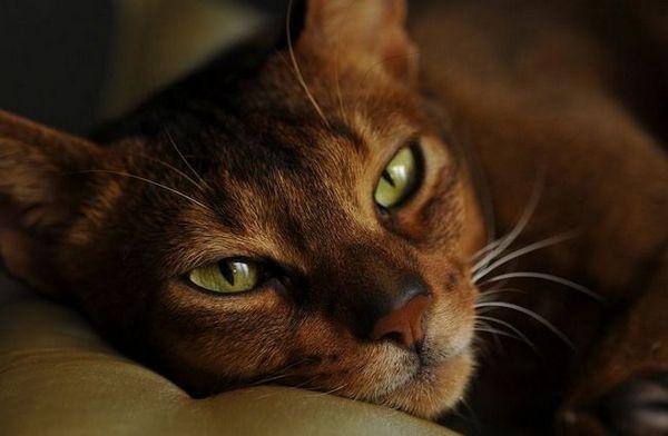Абисинска раса на мачки - содржина на куќи