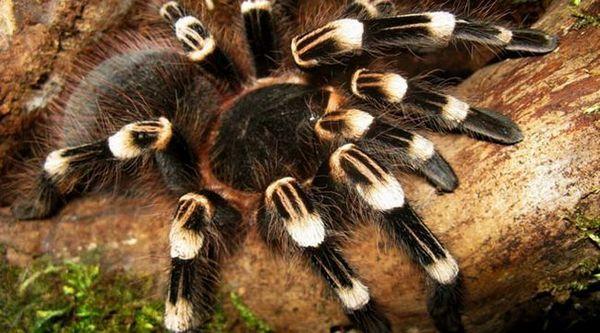 Ацантхосцурриа геницулата: садржај паука, опасност од уједа