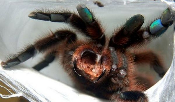 Тарантул паяк