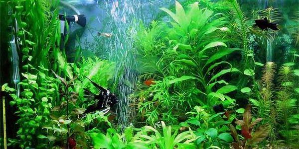Аерація в акваріумі: навіщо вона потрібна і як забезпечити?