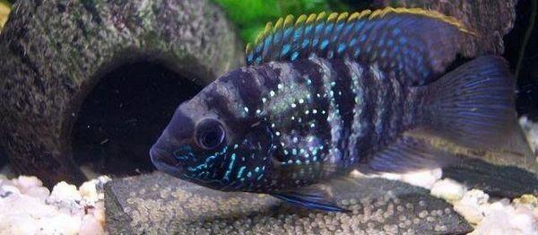 Акара блакитно-плямиста: зміст, опис, догляд, розведення
