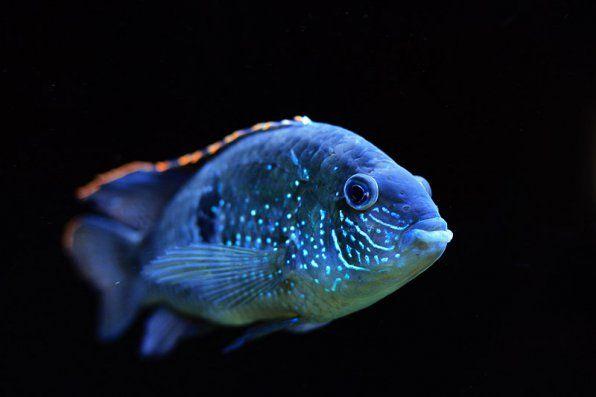 Niebiesko-plamiste zdjęcie Akary