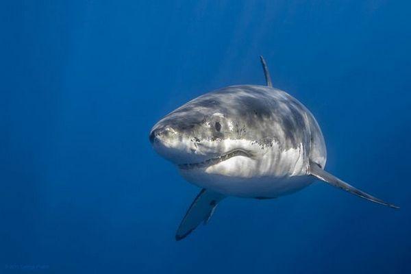 Кои се повеќето грабливи ајкули