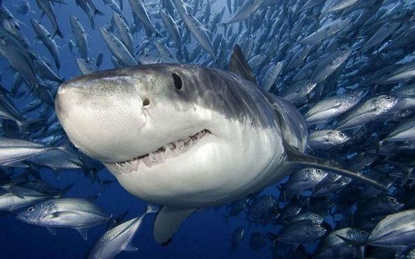 Грабливка ајкула