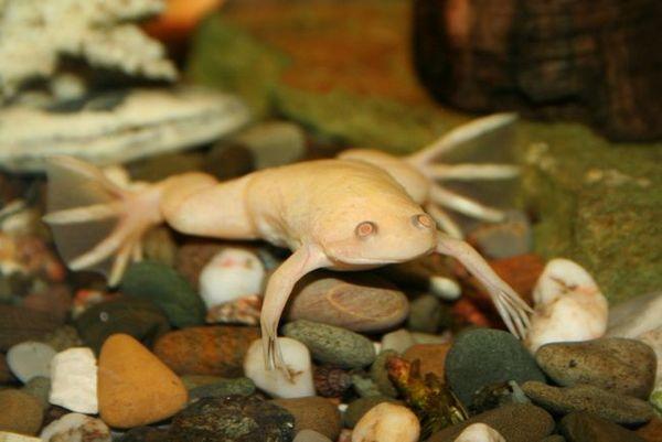 Акваріумна жаба: правила утримання і догляду