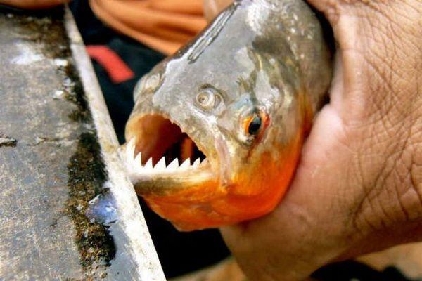 Акваріумна піранья краснобрюхая - легенда амазонії в акваріумі