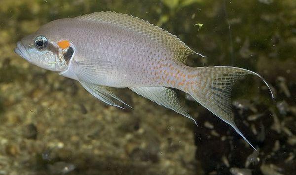 Акваріумна принцеса - рибка бурунді