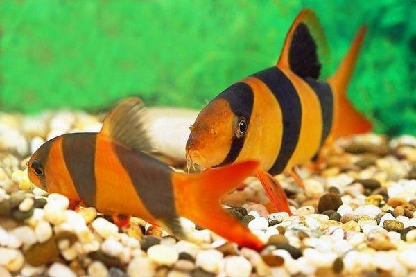 Clovn de pește Botsia