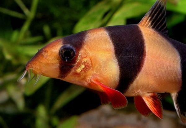 Botsiya de pește