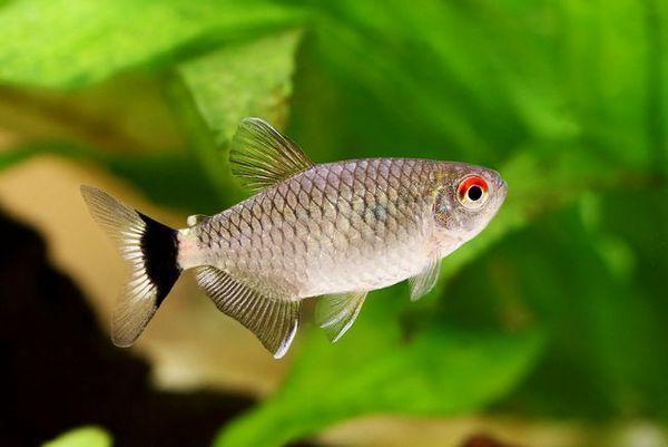 Акваріумна рибка филомена: утримання та догляд