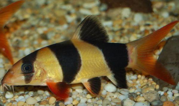 Акваріумна рибка клоун або боция макраканта