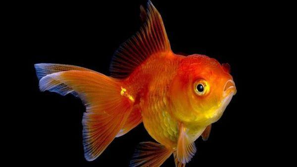 Акваріумна рибка комета: утримання та догляд