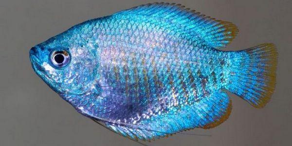 Акваріумна рибка ляліус: примхлива і невибаглива