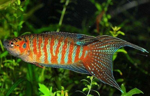 Акваріумна рибка макропод: батьківщина, утримання та догляд