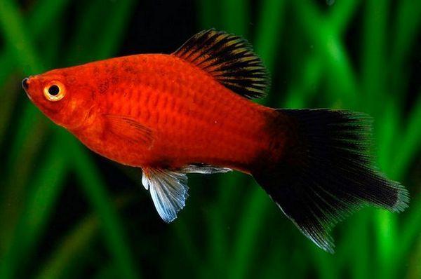 Акваріумна рибка пецілія: утримання та догляд